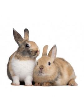 Couple de lapin